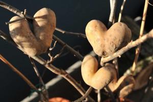 Pünktlich zum 14. Februar ein reicher Ertrag an Valentinskartoffeln.