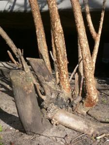 Die Rinde dieses Strauchs diente den Piranha-Kaninchen als Nahrung.