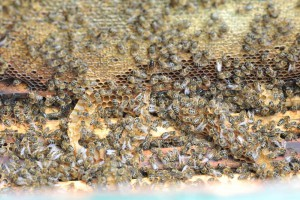 In so einem Bienenkasten wuselt es ziemlich. Erstaunlich, dass die Bienen nicht fortfliegen, wenn man den Rahmen heraus nimmt. Die Bienen scheinen weiter zu arbeiten, als wäre nichts gewesen. Wichtig ist, dass man nur sehr ruhige Bewegungen macht und sie nicht aufregt.