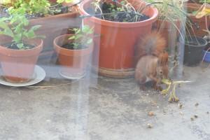 Die Sonnenblume sollte eigentlich als Samenspender im nächsten Frühjahr dienen, doch da hatten wir nicht mit dem Eichhörnchen gerechnet, dem eine andere Verwendung einfiel. Nachhaltig ist das natürlich nicht, doch das mit dem Eichhörnchen zu diskutieren wäre müßig.