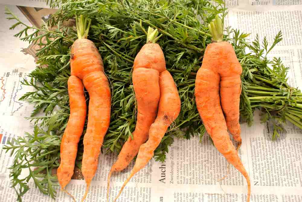 Drei zweibeinige Karotten mit Grün