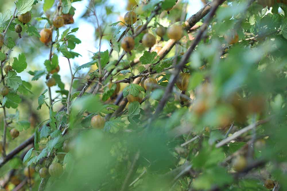 """So sahen die Stachelbeeren am Strauch aus. Da Viele von den Wespen schon """"ausgelutscht"""" waren, musste man beim Pflücken sorgfältig wählen."""