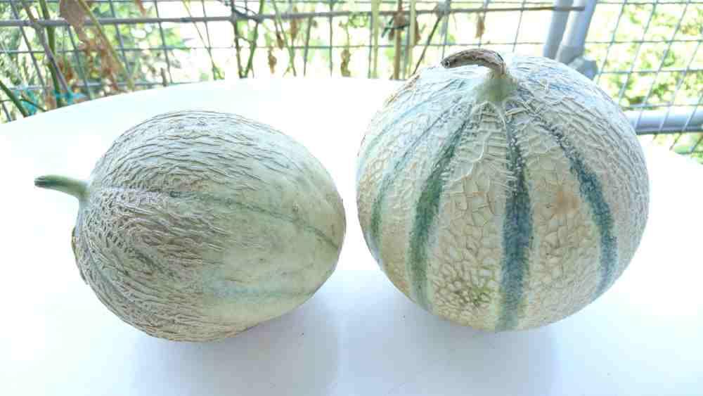 Zwei Melonen für den Geschmackstest – Wie gut schmeckt die Charantais Melone aus Brandenburg im Vergleich zur Französischen? (Beide aus ökologischem Landbau)