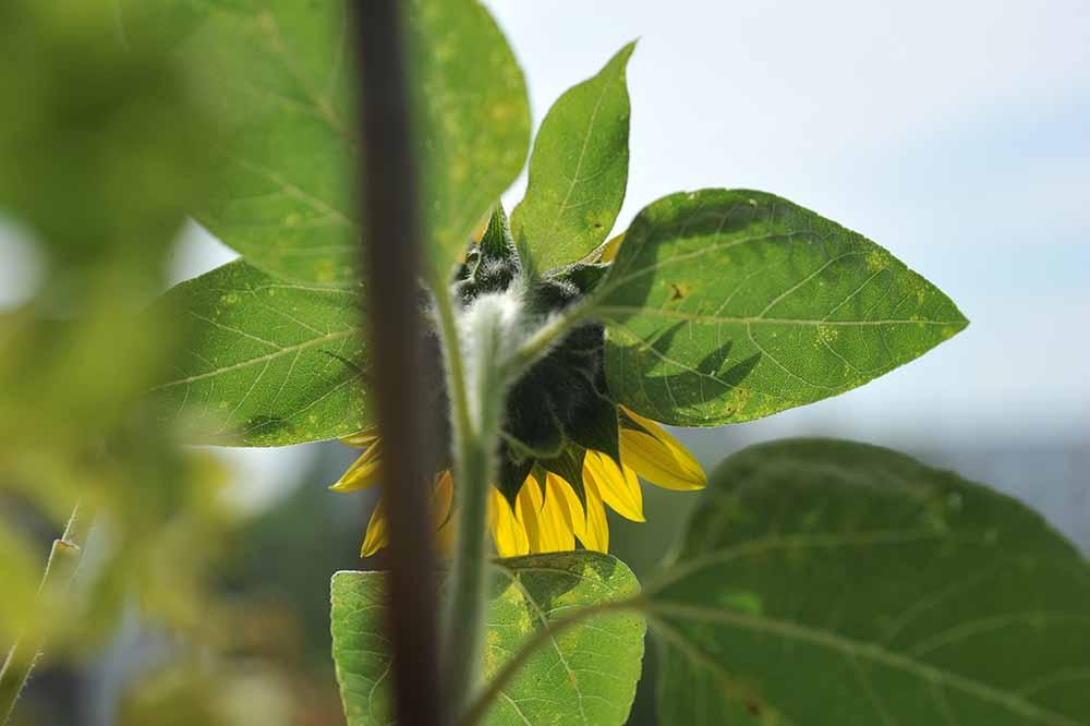 Sonnenblume von Hinten