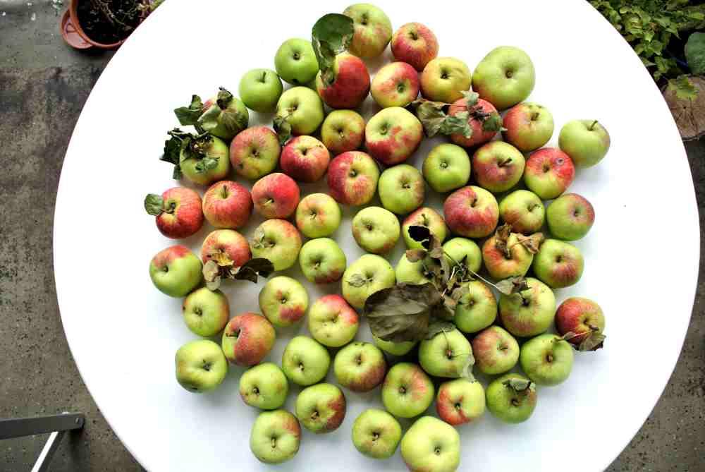 Wer glaubt, alle Äpfel schmecken gut, kennt diese Sorte nicht. Doch wie alle alten Sorten, so ist auch diese eine Spezialität. Hervorragendes Apfelmus lässt sich daraus machen.