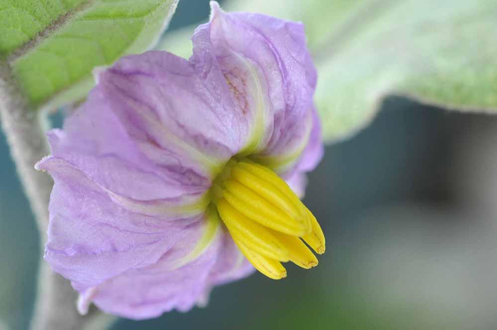So sieht sie aus, die Blüte der Aubergine.