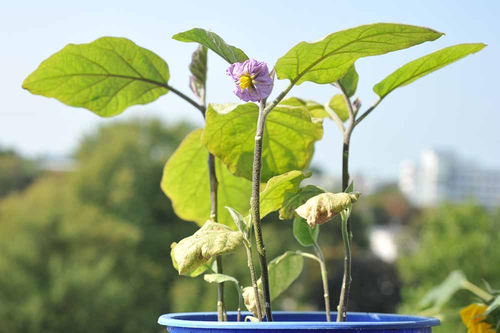 Wenn man bedenkt, dass die Pflanze nun schon mehr als drei Monate Zeit zum Wachsen hatte, so hätte man vielleicht eine etwas größere Pflanze erwartet. Doch wahrscheinlich handelt es sich hier um einen kulinarischen Leckerbissen, eine Zwergaubergine.